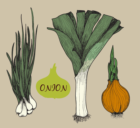 potherb: Onion. Set of hand drawn graphic illustrations