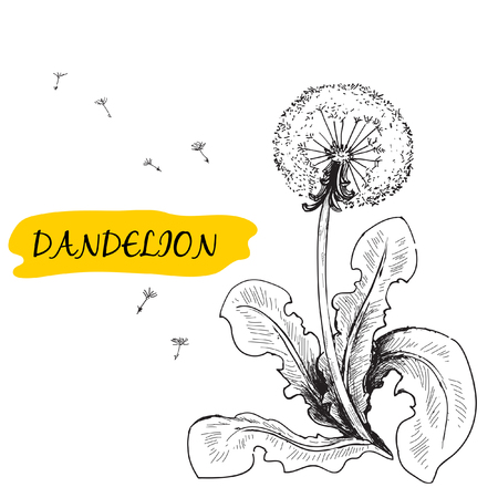 dandelion flower: Dandelion. Summer flower. Hand drawn graphic illustration