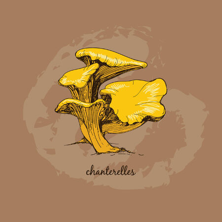 Chanterelles. Group of mushrooms. Hand drawn graphic illustration