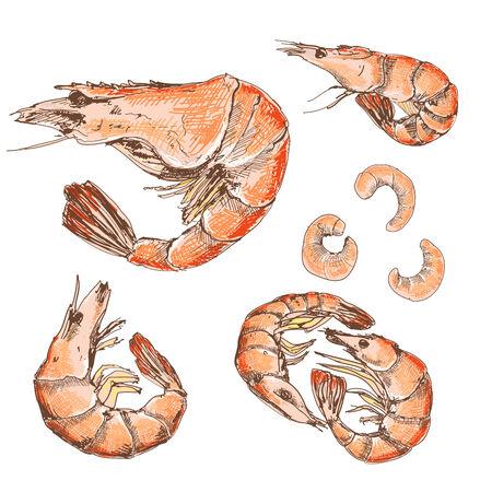 krill: Shrimps Illustration