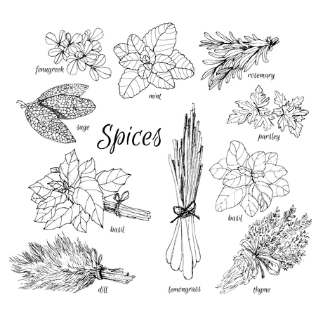 savoury: Collection of herbs. Hand drawn graphic illustrations.