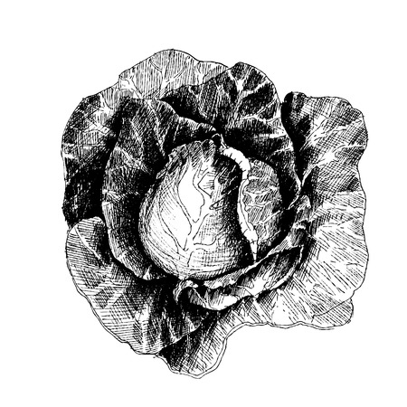 cabbage: Hand drawn sketch style cabbages. Cabbage with leafs, cabbage head, half of cabbage. Organic fresh farm food vector illustration isolated on white background.