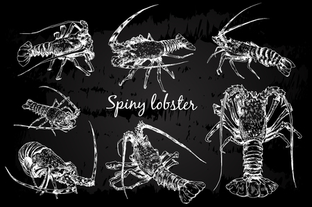Spiny lobster in sketch style