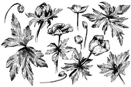 Flores botánicas florales de anémona de vector. Flores silvestres de hoja de primavera salvaje aislado. Arte de tinta grabada en blanco y negro. Elemento de ilustración de anémona aislado sobre fondo blanco.
