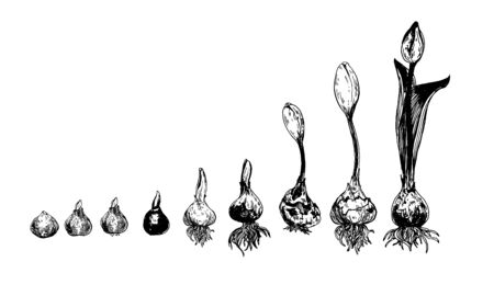 Set of spring flowers tulips branches. Ink sketch collection of illustrations. bulb to flower . growth stages