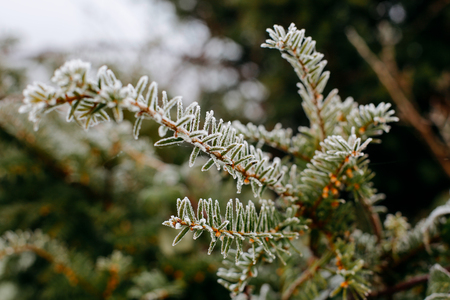 Close up shot of frost on pine tree on a cold foggy morning in London, UK Stock Photo