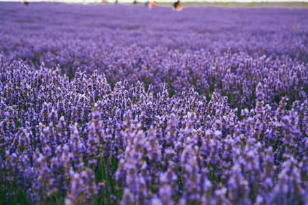Blossoming lavender field on a summer day, silhouettes of people on the background. Selective focus.