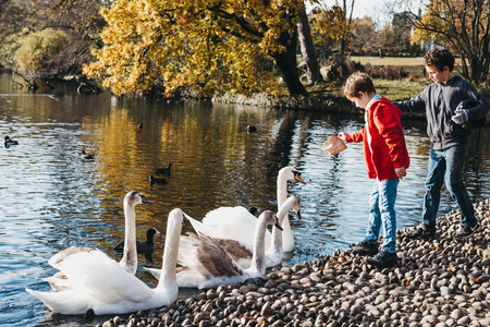 Two young boys feeding swans and ducks in a park. In United Kingdom it an offence to intentionally injure, take or kill a wild swan.