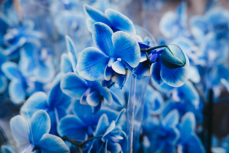 Close up of a Blue Moth Orchids flowers, shallow focus.