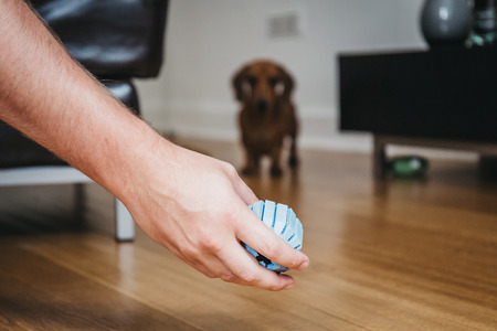 Owners hand holding toy ball, ready to throw, silhouette of the dog on the background. Stock Photo