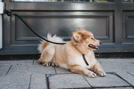Happy dog laying on the pavement, leash tied to the hook, waiting for the owner outside a shop in London, UK. Фото со стока