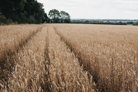 Low angle view of a wheat crop field, diminishing perspective, selective focus.