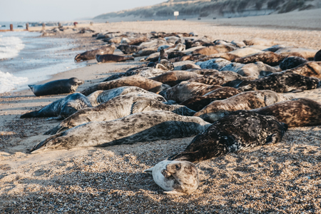 Large group of seals basking in the sun by the water on Horsey beach, Norfolk, UK, in spring. Stock fotó