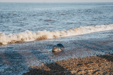 Seal pup basking in the sun by the water on Horsey beach, Norfolk, UK, in spring. 版權商用圖片 - 123440837