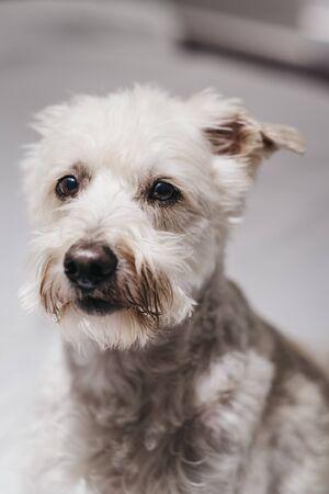 Close up portrait of a senior Ganaraskan dog, looking at the camera, selective focus. Imagens