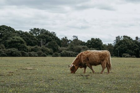 Side view of the Highland Cattle grazing in a field inside The New Forest park in Dorset,UK, in summer. 스톡 콘텐츠