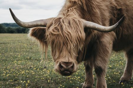 Close up of the Highland Cattle in The New Forest park in Dorset,UK, in summer, looking at the camera.