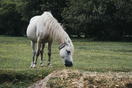 Side view of the a white horse grazing in a field inside The New Forest park in Dorset, UK, in summer.