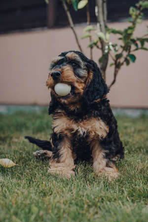 Cute two month old Cockapoo puppy in a garden, holding table tennis ball he stole while the owners were not looking in his mouth, selective focus.