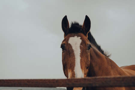 Close up of a horse looking at the camera, over the fence in Cotswolds, UK.