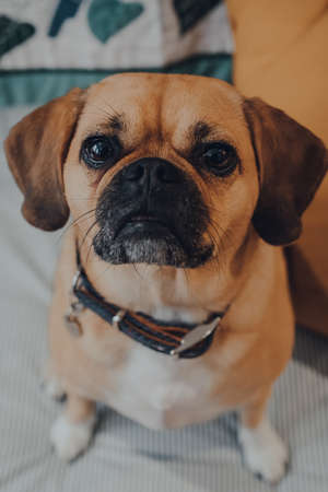 Close up portrait of a puggle dog, shallow focus, looking at the camera. Standard-Bild