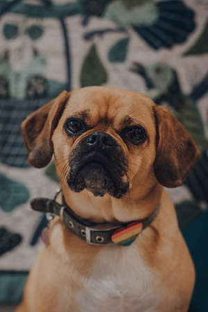 Close up portrait of a puggle with a rainbow heart on the collar, selective focus, looking at the camera.