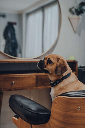 Portrait of a cute puggle dog sitting in a black leather chair in front of a mirror, looking to the side, shallow focus. Standard-Bild