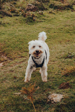 Portrait of a happy dog in a harness in Mendip Hills, UK, looking at the camera.