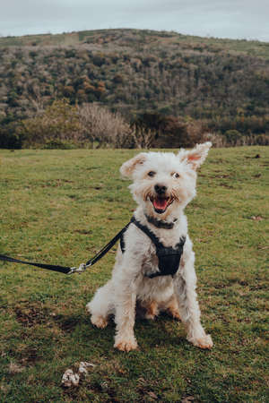 Portrait of a happy dog in a harness sitting on green grass in Mendip Hills, UK. Stock fotó