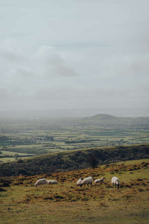 Sheep grazing in Mendip Hills, Somerset, UK, scenic view and cloudy sky on the background.