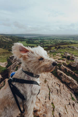 Cute white dog sitting in the wind on top of the Crook Peak in Mendip Hills, Somerset, UK.