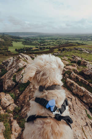 White dog sitting on top of the Crook Peak in Mendip Hills, England, UK, looking at the distance. Stock fotó