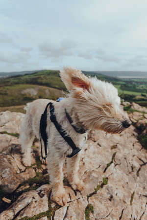 Cute white dog standing in strong wind on top of the Crook Peak in Mendip Hills, Somerset, UK.