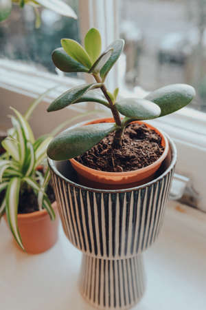 High angle view of small jade plant in decorative pot growing on a windowsill at home, shallow focus.
