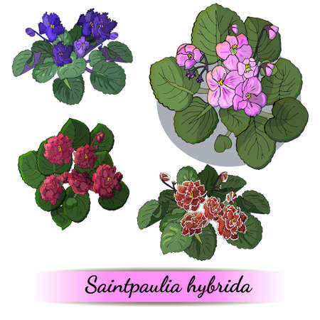 Vector set of flowering African violets with flowers of different colors isolated on white background
