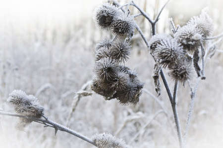 grass under the snow, thistle, thorn photo