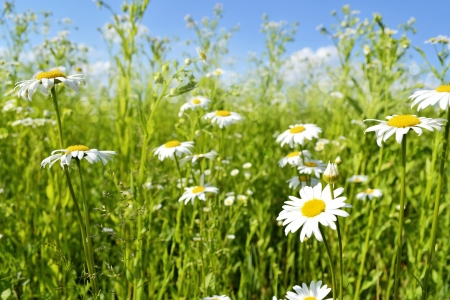 Chamomile field  photo