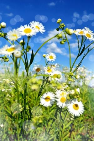 Chamomile field photo