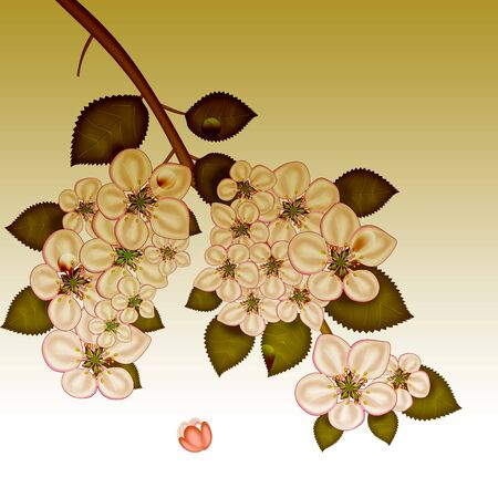bough: Branch of apple blossoms  Illustration  White background