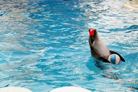 Dolphin with inflatable ball.  photo