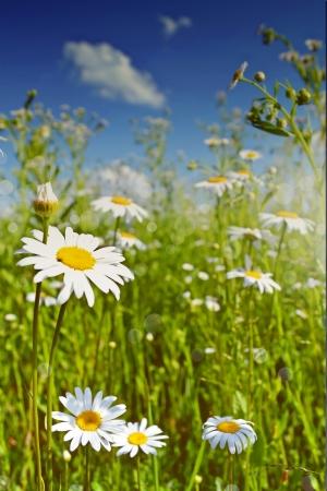 Summer landscape. Chamomile field. Photo. photo