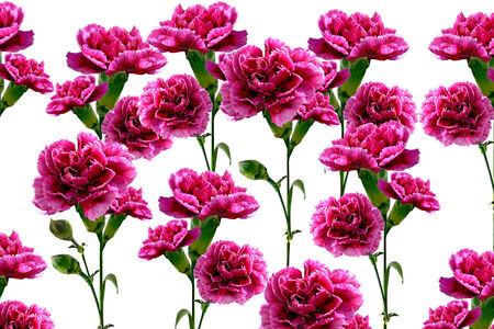 flowers carnation photo