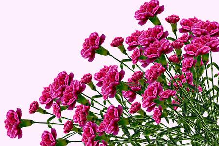 Carnation flowers on white  photo