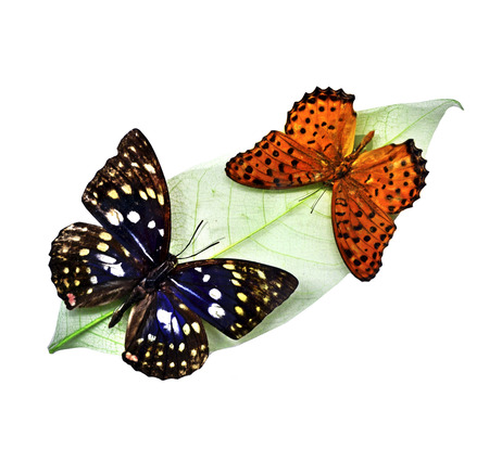 Butterflies on a white background photo