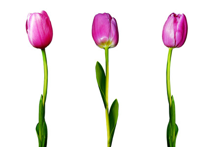 Tulips flowers isolated on white background photo