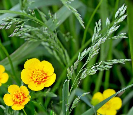 field of flowers: Field flowers buttercup  yellow flower Stock Photo