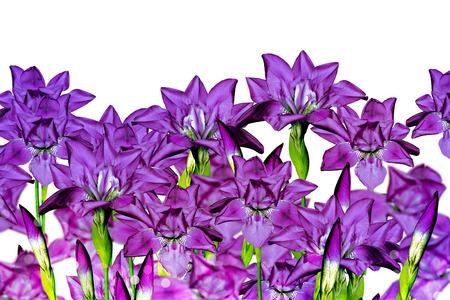 iris blue flowers on a white background photo