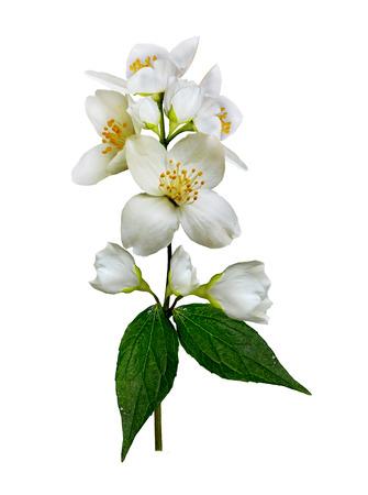 jasmine bush: jasmine white flower isolated on white background