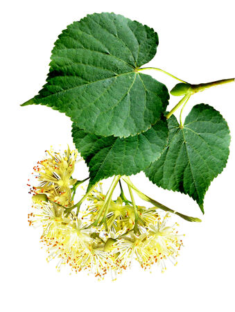 branch of linden flowers isolated on white background photo
