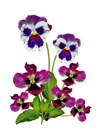 Pansy Violet with Green Leaves on white background photo